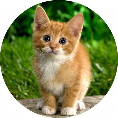 cialda per torta con immagine di un gatto